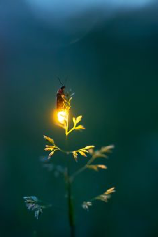 470 Best Fireflies images | Firefly, Lighting bugs, Firefly ...